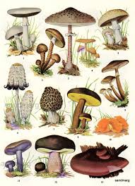 Edible Fungi Chart Stuffed Mushrooms Edible Mushrooms