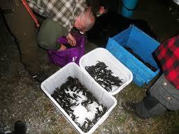 Bildresultat för lantislygdman fiska kräftor