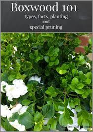 boxwood shrubs a guide mysoulfulhome com