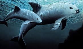 「加灣鼠海豚」的圖片搜尋結果