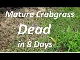 post emergent herbicide. Exellent Post How To Kill Mature Crabgrass In 8 Days  Post Emergent Herbicide Intended R