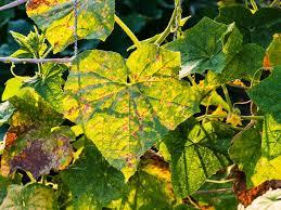 garden pest. Earwig Garden Pest