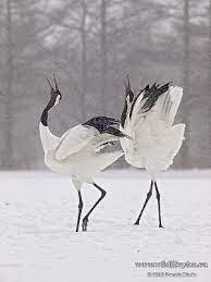 Japanese Crane in Snow by cristina | Bird photography, Beautiful birds, Pet  birds
