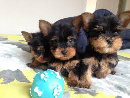 toy size yorkshire terrier puppies