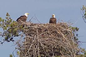 eagles nest size theyve hatched a good look at a maine bald eagle nest act out