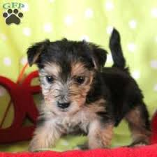 friendly 975 00 quarryville pa morkie yorktese puppy