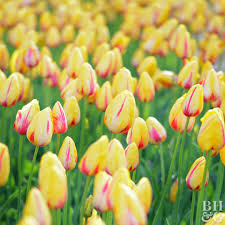 10 Tips for Protecting Tulip Bulbs | Better Homes & Gardens