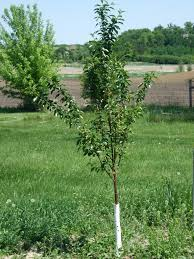 Plum Tree Problems What To Do When A Plum Tree Fails To Bear Plum Tree Not Producing Fruit