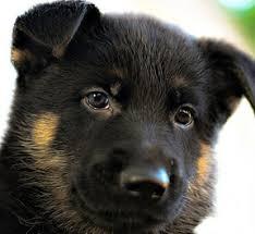 baby black german shepherd. Plain Shepherd Black Baby German Shepherd Intended L