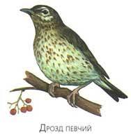 Какие птицы зимой улетают на юг а какие остаются зимовать на  Зяблик Трясогузка Певчий дрозд