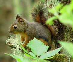 The American Red Squirrel Sometimes has small black stripes on it's side