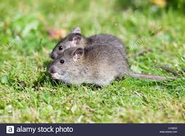 brown rats rattus norvegicus baby animals feeding on birdseed in garden loer saxony germany