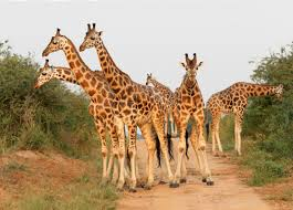 picture of a giraffe. Contemporary Picture A Group Of Young Male Rothschildu0027s Giraffes Block The Road In Murchison  State Falls National Park Uganda Melissa Groo Throughout Picture Of Giraffe