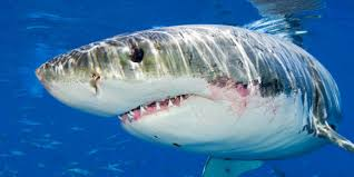 great white sharks eating people alive. Perfect White We Have All Been Taught To Fear Great White Sharks Credit Alex Mustard To Great White Sharks Eating People Alive