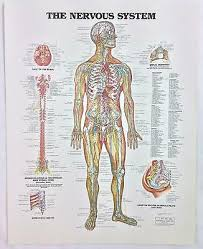 Vintage The Anatomical Chart Series Book Print 1988 The Nervous System Ebay