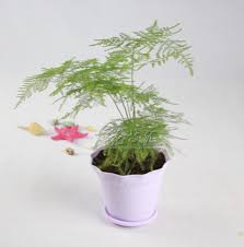 feng shui plant and flower Asparagus fern in bedroom1