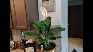 Light For Peace Lily Peace Lilly Great Low Light Indoor House Plant