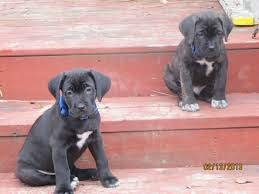our experience with horace steel cane corso was just wonderful from the start it was our first time ever purchasing a puppy from a breeder so we weren t
