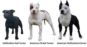 Staffy Colours Chart Pin By Alfred Williams On Beautiful Dogs Pitbull Terrier