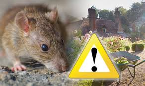how to get rid of rats in the garden for good and why you should never use poison express co uk
