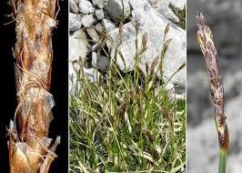 Carex myosuroides Vill. - Sistema informativo sulla flora delle Alpi ...