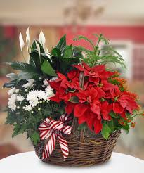 blooming poinsettia basket a unique holiday gift that will last throughout the season boesen the florist