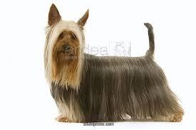 silky dog. dog - australian silky terrier. also known as terrier or sydney