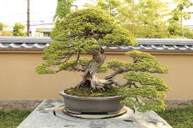 outdoor bonsai tree care bought bonsai tree