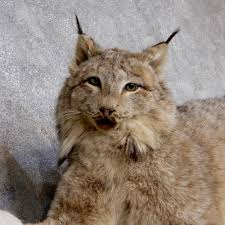 lynx size alaskan lynx life size mount for sale 18612 the taxidermy store