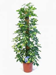 office plants for sale. exellent sale moss pole plants to office for sale