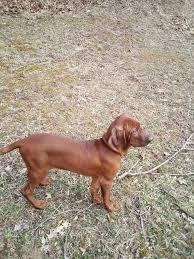 Redbone Coonhound Dog Shipping Rates ...
