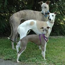 Image result for greyhound dog