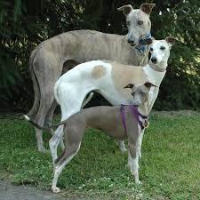 Image result for greyhound dog