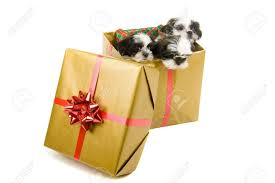 stock photo three cute shih tzu puppies in a gold box with a red bow and ribbon for a gift
