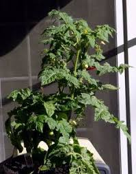 indoor tomato garden. MY INDOOR TOMATO PLANT I PUT OUT IN THE MORNING AND TAKE IT AT NIGHT Indoor Tomato Garden