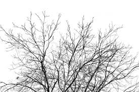 Branches of dead tree silhouette on white background | Stock Photo |  Colourbox