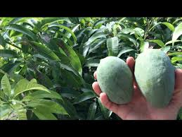 The How And When Of Pruning Your Fruit Trees  Phoenix Trim A TreeAz Fruit Trees