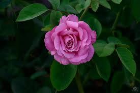 beautiful rose background high