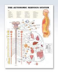 The Autonomic Nervous System Chart 20x26 Health