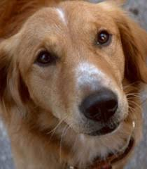 a dog s purpose bailey. Plain Bailey Bailey With A Dog S Purpose