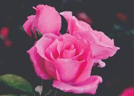 Fragrant Rose Bushes For Sale Life Garden Summer Roses Rose Plants Fragrant Rose Plants