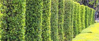 fast growing living fence plants fences services hill privacy