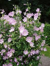 Lavatera thuringiaca Lavatera, Tree lavatera PFAF Plant Database