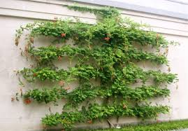 the associated press this photo of an espalier tree taken at longwood gardens in kennett square pa shows a typical cordon design with its vertical