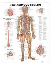 Laminated Anatomy Charts The Nervous System Laminated Anatomical Chart