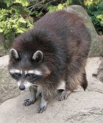Raccoon Classification Chart Raccoon New World Encyclopedia