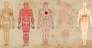 Body Regeneration Chart Does The Human Body Replace Itself Every Seven Years