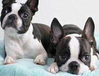 イギー 犬 種
