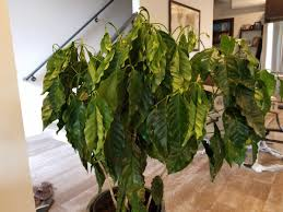 Coffee plants produce not only the all important coffee bean, but they make terrific houseplants too. Indoor Coffee Tree W Wilted Curled In Leaves Gardening Forums