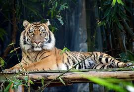 live jungle animals. Fine Live Asian Tiger To Live Jungle Animals S